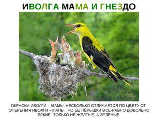 ИВОЛГА МАМА И ГНЕЗДО ОКРАСКА ИВОЛГИ – МАМЫ, НЕСКОЛЬКО ОТЛИЧАЕТСЯ ПО ЦВЕТУ ОТ