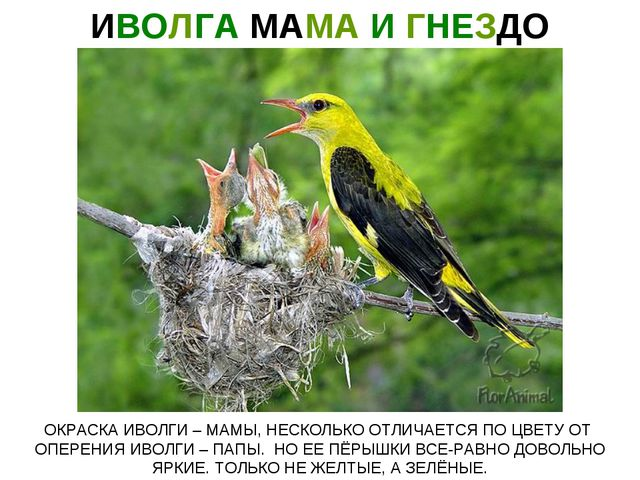 ИВОЛГА МАМА И ГНЕЗДО ОКРАСКА ИВОЛГИ – МАМЫ, НЕСКОЛЬКО ОТЛИЧАЕТСЯ ПО ЦВЕТУ ОТ...