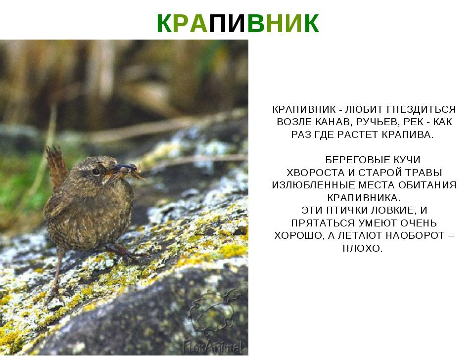 КРАПИВНИК КРАПИВНИК - ЛЮБИТ ГНЕЗДИТЬСЯ ВОЗЛЕ КАНАВ, РУЧЬЕВ, РЕК - КАК РАЗ ГДЕ...
