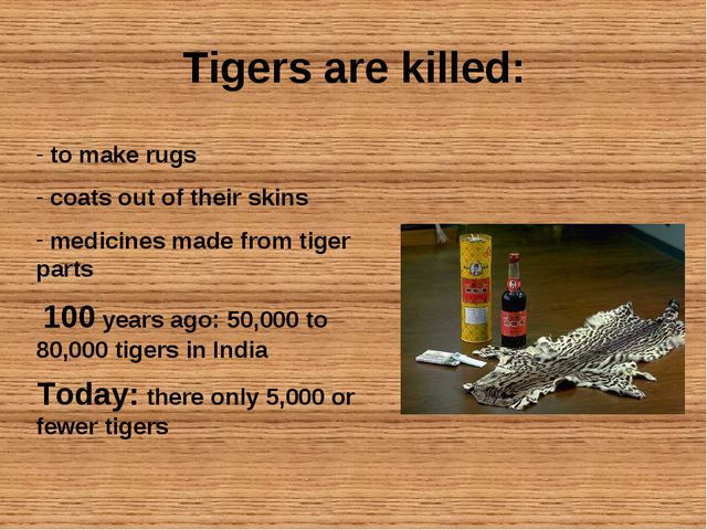 Tigers are killed: to make rugs coats out of their skins medicines made from...