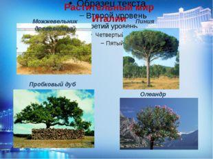 Растительный мир Италии Можжевельник древовидный Пиния Пробковый дуб Олеандр