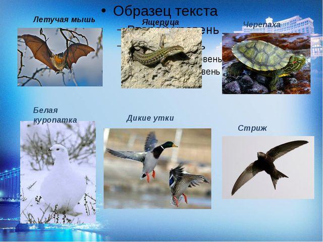 Летучая мышь Ящерица Черепаха Дикие утки Стриж Белая куропатка
