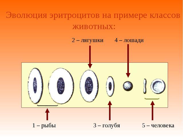 1 – рыбы Эволюция эритроцитов на примере классов животных: 2 – лягушки 3 – го...