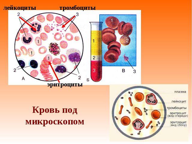 Кровь под микроскопом эритроциты лейкоциты тромбоциты