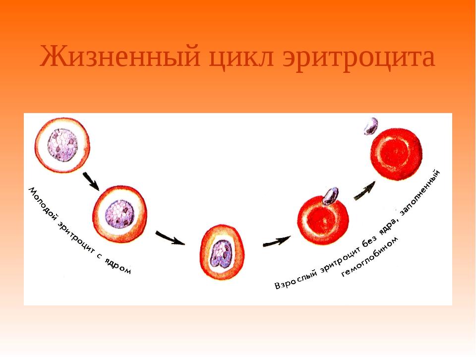 Жизненный цикл эритроцита