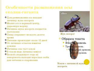 Особенности размножения осы сколии-гиганта Кокон с личинкой жука носорога Жук
