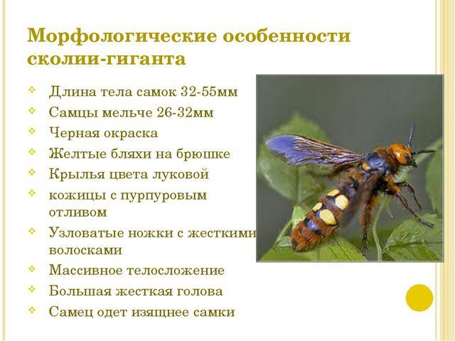 Морфологические особенности сколии-гиганта Длина тела самок 32-55мм Самцы мел...