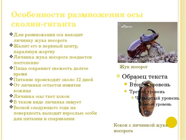 Особенности размножения осы сколии-гиганта Кокон с личинкой жука носорога Жук...