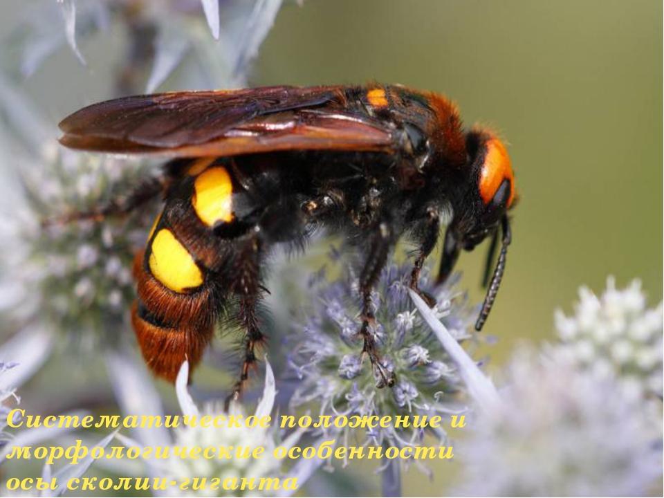 Систематическое положение и морфологические особенности осы сколии-гиганта