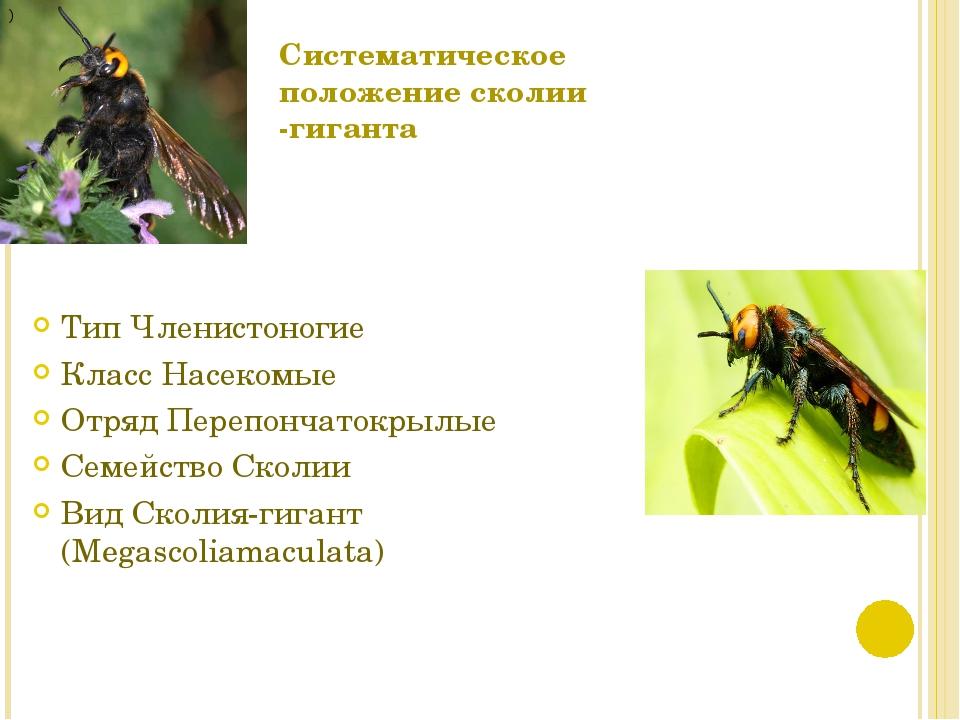 Систематическое положение сколии -гиганта Тип Членистоногие Класс Насекомые О...