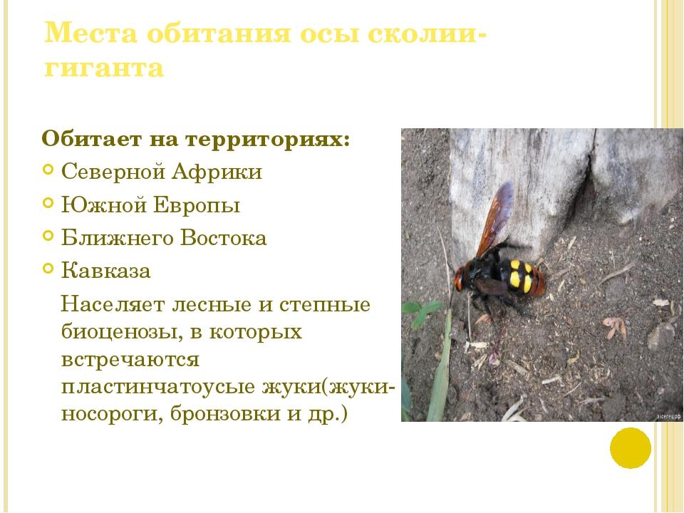Места обитания осы сколии-гиганта Обитает на территориях: Северной Африки Южн...