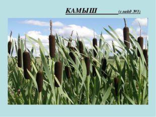 КАМЫШ (слайд №3)