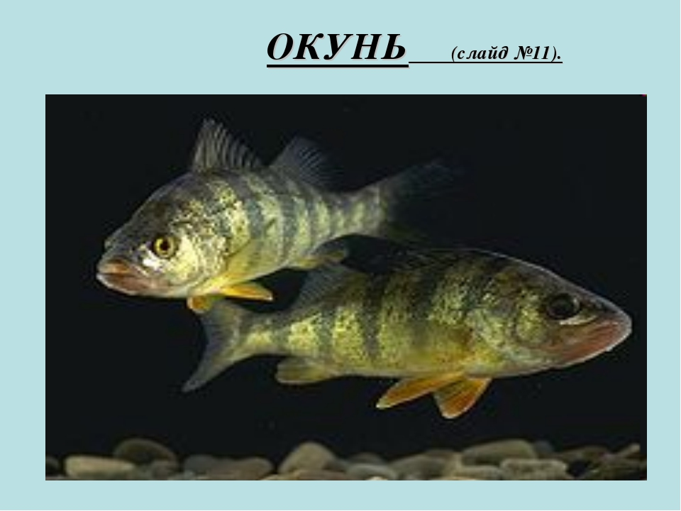 ОКУНЬ (слайд №11).