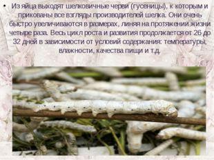 Из яйца выходят шелковичные черви (гусеницы), к которым и прикованы все взгля