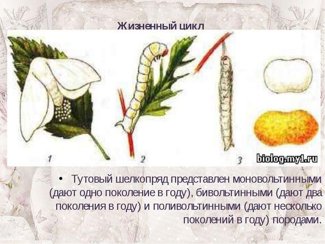 Жизненный цикл Тутовый шелкопряд представлен моновольтинными (дают одно покол...
