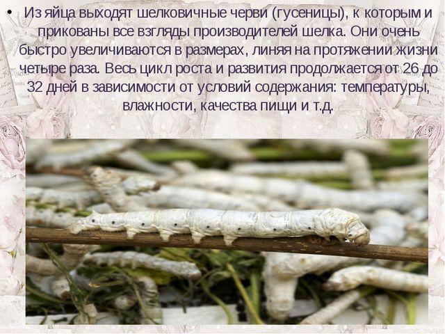 Из яйца выходят шелковичные черви (гусеницы), к которым и прикованы все взгля...