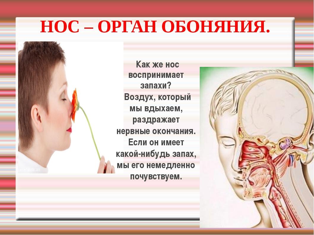 НОС – ОРГАН ОБОНЯНИЯ. Как же нос воспринимает запахи? Воздух, который мы вдых...