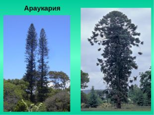 Араукария