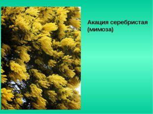 Акация серебристая (мимоза)