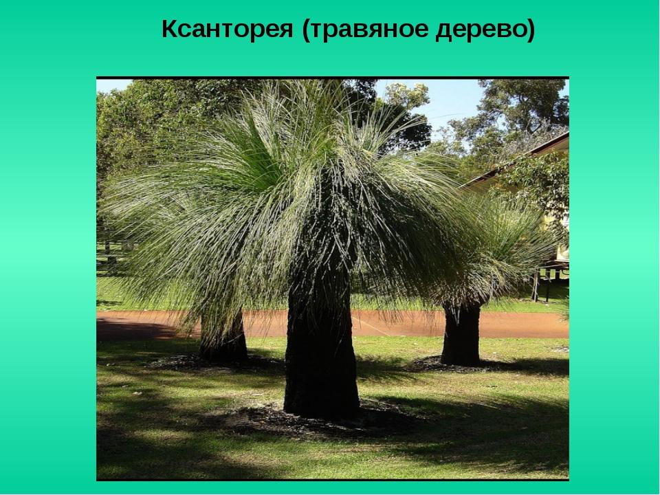 Ксанторея (травяное дерево)