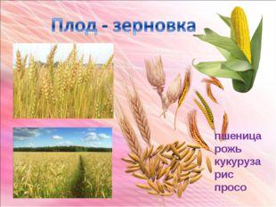 пшеница рожь кукуруза рис просо