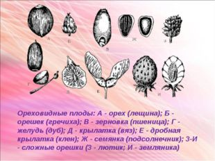 Ореховидные плоды: А - орех (лещина); Б - орешек (гречиха); В - зерновка (пше