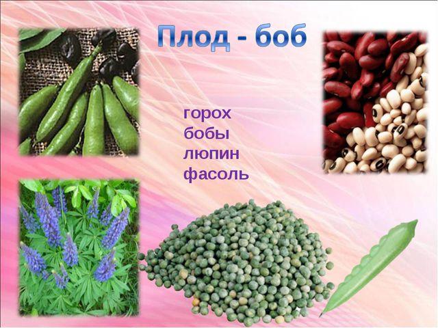 горох бобы люпин фасоль