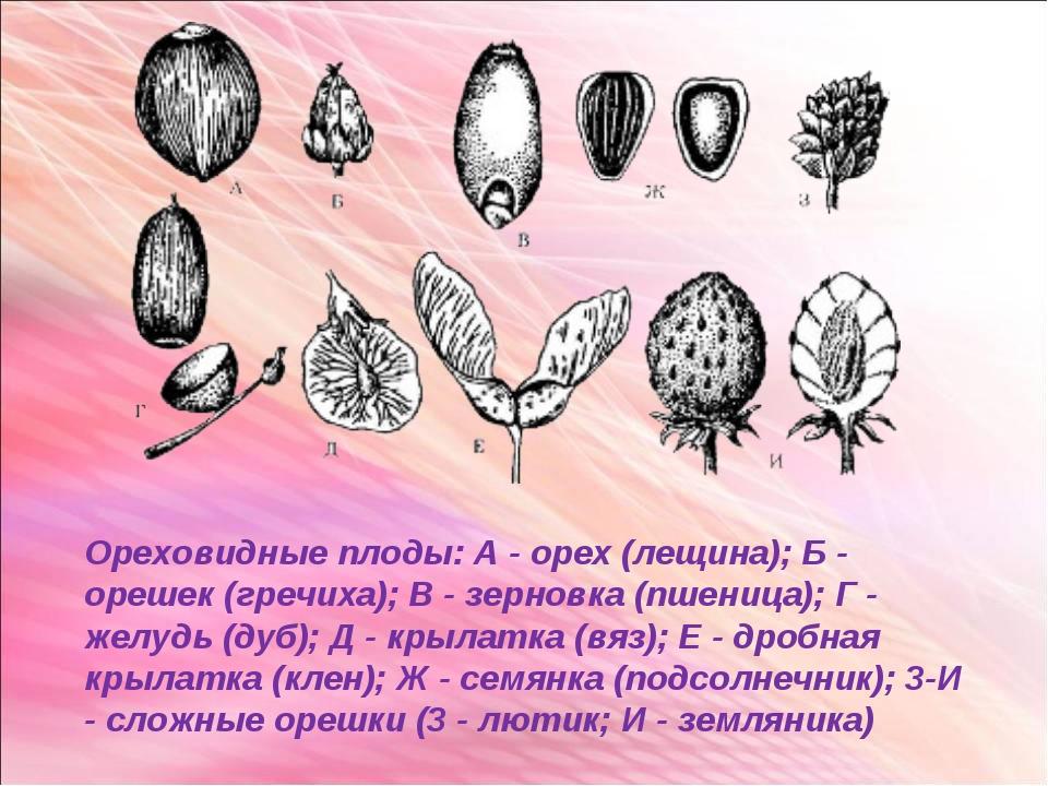 Ореховидные плоды: А - орех (лещина); Б - орешек (гречиха); В - зерновка (пше...