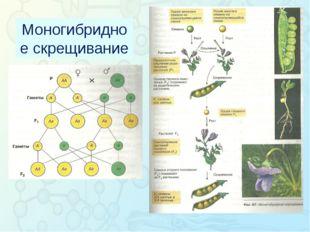 Зорина Наталья Николаевна, учитель биологии и экологии Моногибридное скрещив
