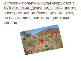 В России тюльпаны культивируются c XYII столетия. Дикие виды этих цветов прои