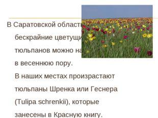 В Саратовской области бескрайние цветущие степи тюльпанов можно наблюдать в