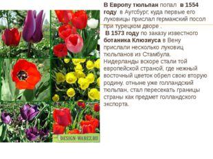 В Европу тюльпан попал в 1554 году в Аугсбург, куда первые его луковицы присл