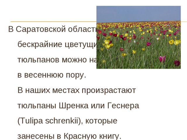 В Саратовской области бескрайние цветущие степи тюльпанов можно наблюдать в...