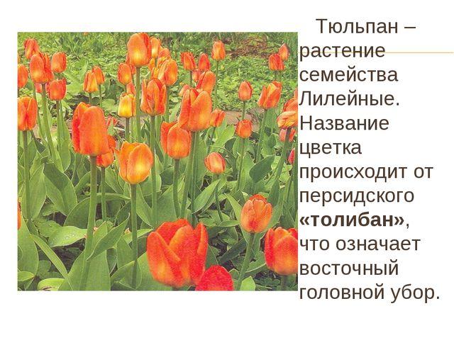 Тюльпан – растение семейства Лилейные. Название цветка происходит от персидс...