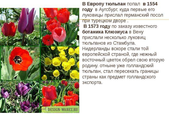 В Европу тюльпан попал в 1554 году в Аугсбург, куда первые его луковицы присл...