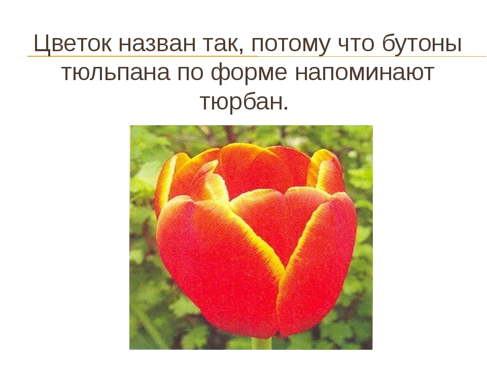 Цветок назван так, потому что бутоны тюльпана по форме напоминают тюрбан.
