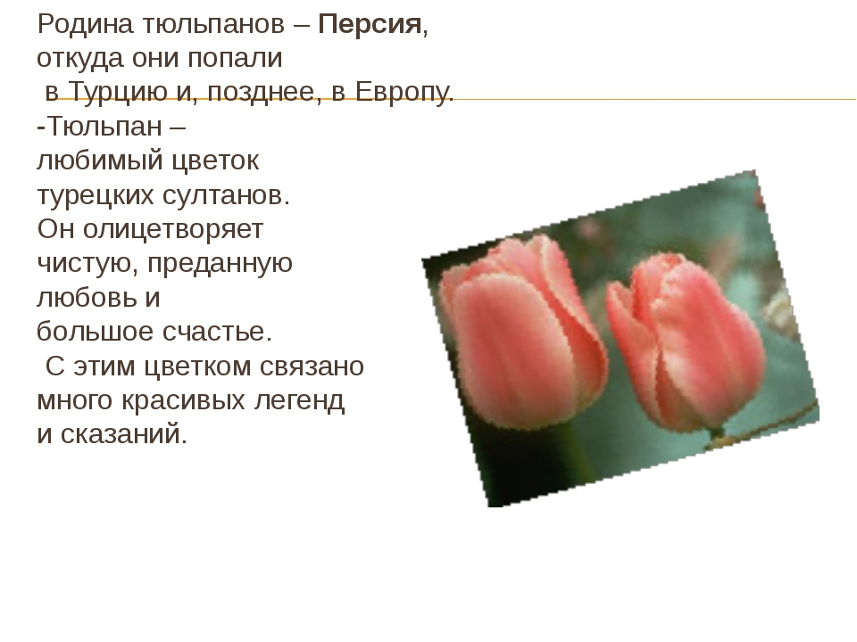 Родина тюльпанов – Персия, откуда они попали в Турцию и, позднее, в Европу. -...