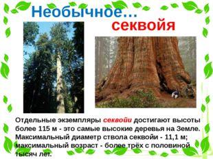 Отдельные экземпляры секвойи достигают высоты более 115 м - это самые высокие