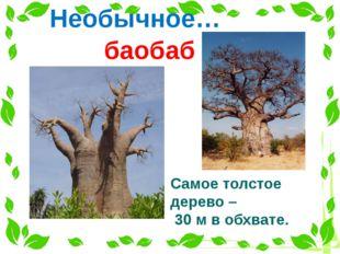 Необычное… баобаб Самое толстое дерево – 30 м в обхвате.
