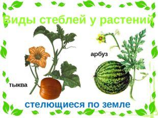 Виды стеблей у растений тыква стелющиеся по земле арбуз