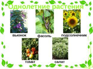 Однолетние растения вьюнок фасоль подсолнечник томат салат