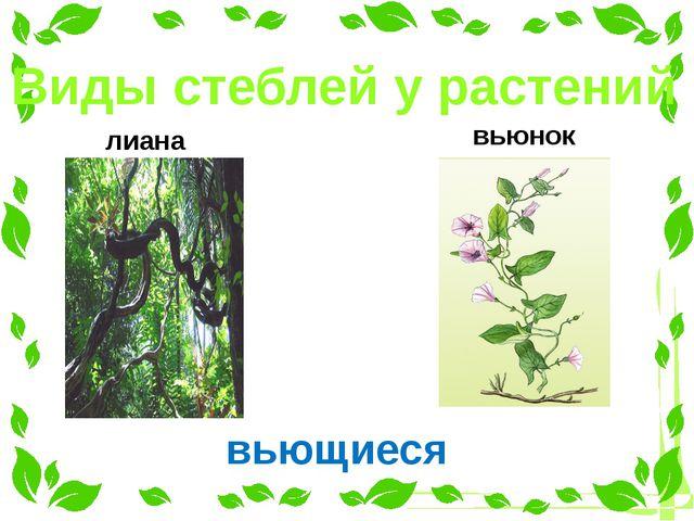 Виды стеблей у растений лиана вьющиеся вьюнок