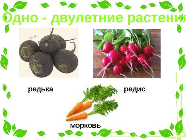 Одно - двулетние растения редька редис морковь