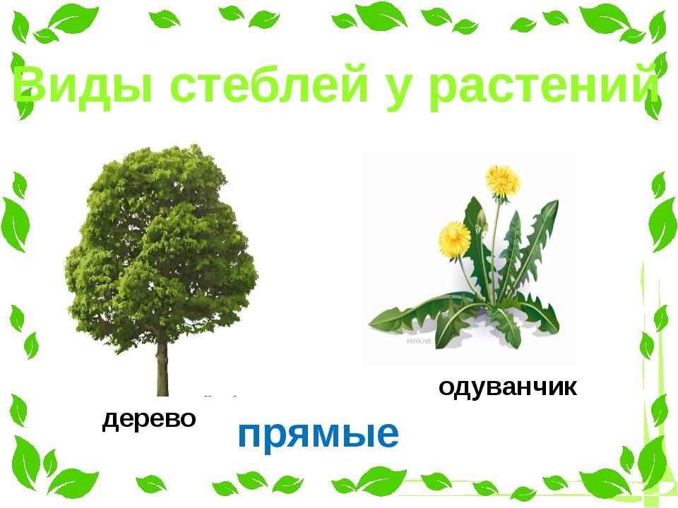 Виды стеблей у растений прямые дерево одуванчик