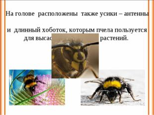На голове расположены также усики – антенны и длинный хоботок, которым пчела