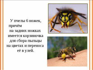 У пчелы 6 ножек, причём на задних ножках имеется корзиночка для сбора пыльцы