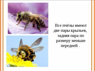 Все пчёлы имеют две пары крыльев, задняя пара по размеру меньше передней . .
