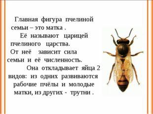 Главная фигура пчелиной семьи – это матка . Её называют царицей пчелиного цар