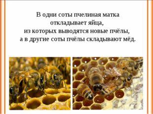 В одни соты пчелиная матка откладывает яйца, из которых выводятся новые пчёлы
