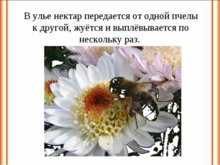 В улье нектар передается от одной пчелы к другой, жуётся и выплёвывается по н